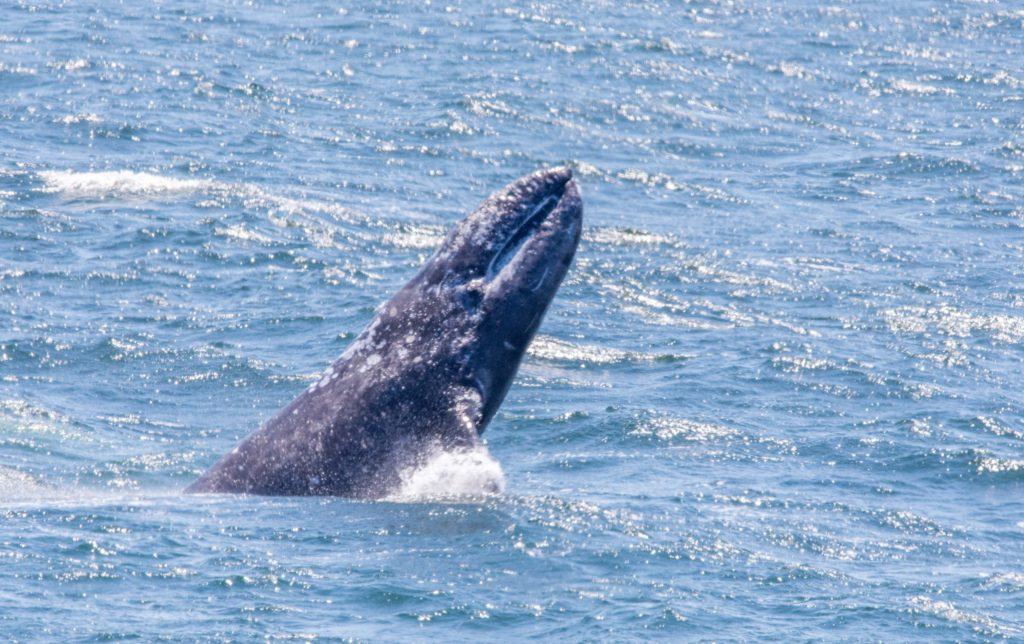 A Gray Whale breaches by Paul Brewer