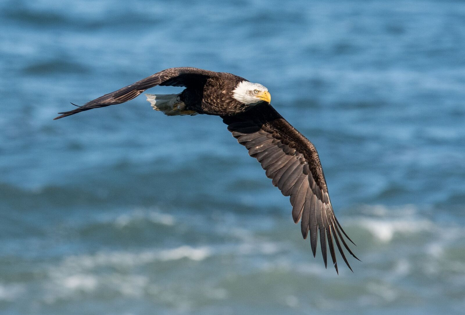 Bald Eagle by Paul Brewer