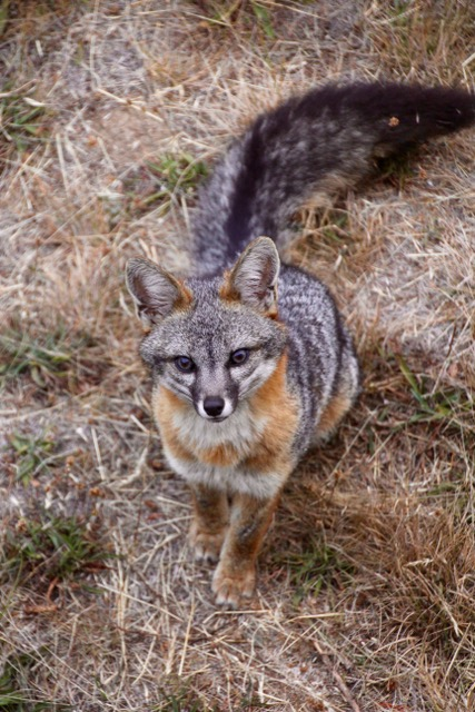 Sailfish Fox