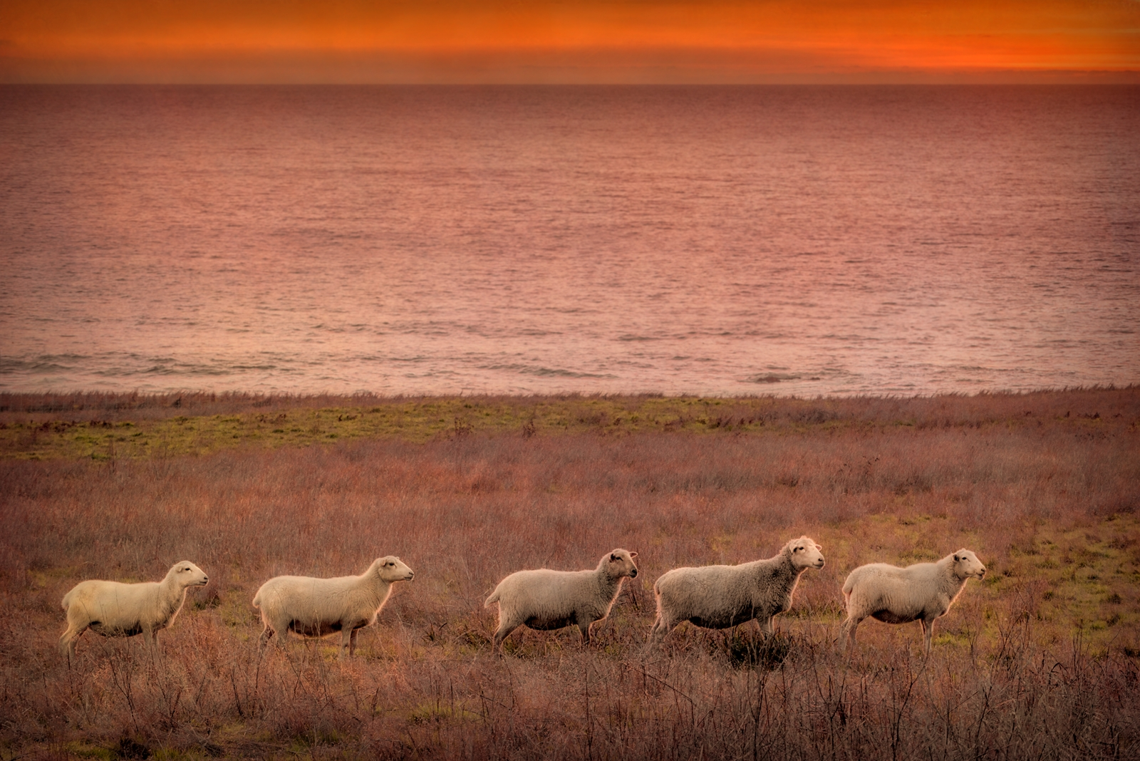 Sunset Sheep by Paul Kozal